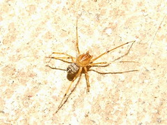 Scytodidae>Scytodes Spitting Spider 11170005 (Bill & Mark Bell) Tags: exmouth westernaustralia australia geo:town=exmouth geo:state=westernaustralia geo:country=australia geo:lon=11425453egeolat2217752sgeoalt8m 11425453e2217752salt8m taxonomy:kingdom=animalia animalia taxonomy:phylum=arthropoda arthropoda taxonomy:class=arachnida arachnida taxonomy:order=araneae araneae taxonomy:family=scytodidae scytodidae taxonomy:genus=scytodes scytodes taxonomycommonnamespittingspider spittingspider spider