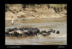Crossing the Mara (Tomcod) Tags: africa nature river kenya wildlife mara migration wildebeest masaimara greatmigration