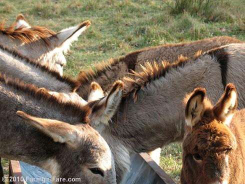 Donkey Ears 6