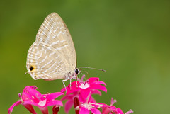 白波紋小灰蝶 (Fu-yi) Tags: insect sony taiwan butterflies alpha 台灣 蝴蝶 formosan mywinners 白波紋小灰蝶 jamidesalectodromicus 小灰蝶科 wonderfulworldofmacro