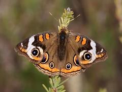 Buckeye (Junonia coenia) (AllHarts) Tags: nature naturesfinest coth supershot pickwickdam anawesomeshot citritbestofyours butterflygallery everydayissunday cherryontopphotography enarmoníaconlanaturaleza pogchallengewinnershalloffame superbmacroaward see~a~wonder naturallywonderful naturespotofgoldlevel2 buckeyejunoniacoenia naturespotofgoldlevel1 5wonderwall councetennessee