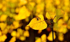 Dying with Grace IV... POPULAR LEAVES (PKG Photography) Tags: autumn holiday tourism nature death celebrations kashmir grief heavenonearth gulmarg chinar pahalgam paradiseonearth newbegining chinaar sonmarg kashmirindia kashmirwallpapers pkgphotography gettyimagesindiaq3 gettyimagesindiaq4 jammuandkashmirwallpapers kashmirplace