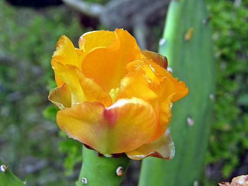 florr de cactus  abriendose