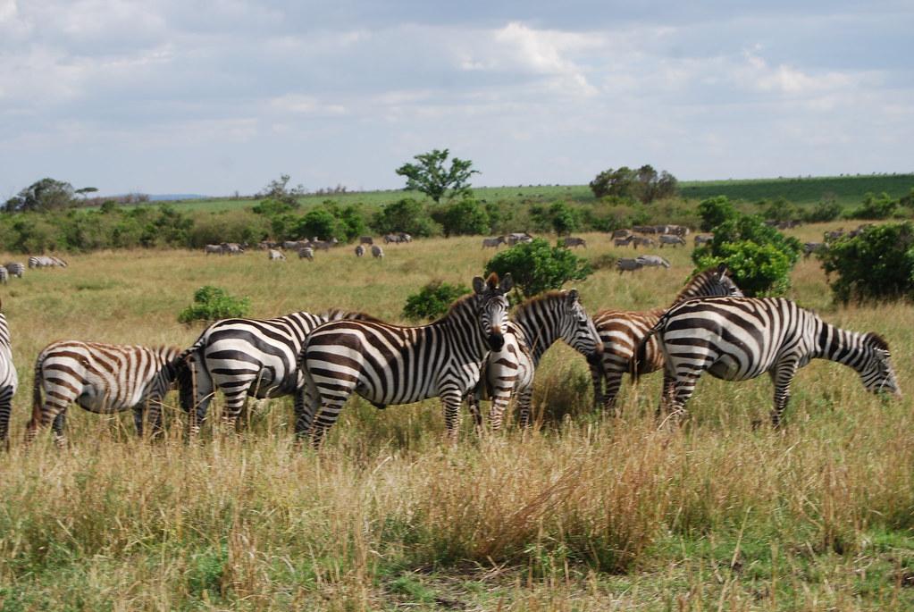 DSC 0662 Zebras