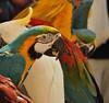 parrots (G_INGER) Tags: street colour animal vivid croatia parrot dubrovnik spectacle
