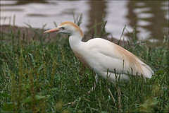 Cattle Egret or Cow Heron (Foto Martien) Tags: holland bird heron netherlands dutch zoo nederland safari reiger vogel safaripark niederlande noordbrabant dierentuin cattleegret dierenpark cowbird reiher hilvarenbeek bubulcusibis koereiger safariparkbeeksebergen garcillabueyera hrongardebufs garaboieira kuhreiher elephantbird garavaqueira a550 garzaboyera buffbackedheron garcitadelganado martienuiterweerd martienarnhem cowcrane cowheron rhinocerosegret sony70300gssmlens sonyalpha550 tayrbgar fotomartien