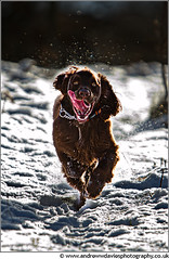 The snow hasn't slowed Troy down! (andrewwdavies) Tags: dog brown snow cold field action working running explore spaniel backlit cocker caerphilly maesycwmmer canonextenderef14xii chocolatebrown explored canonef70200mmf28lisusm canoneos7d andrewwilliamdavies brynmeadows