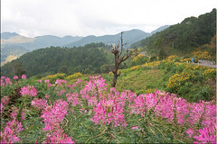 22 The Hills are Alive (Ursula in Aus) Tags: pink mountains flower yellow thailand hilltribe thep maehongson mexicansunflower     earthasia totallythailand  thungdokbuathong