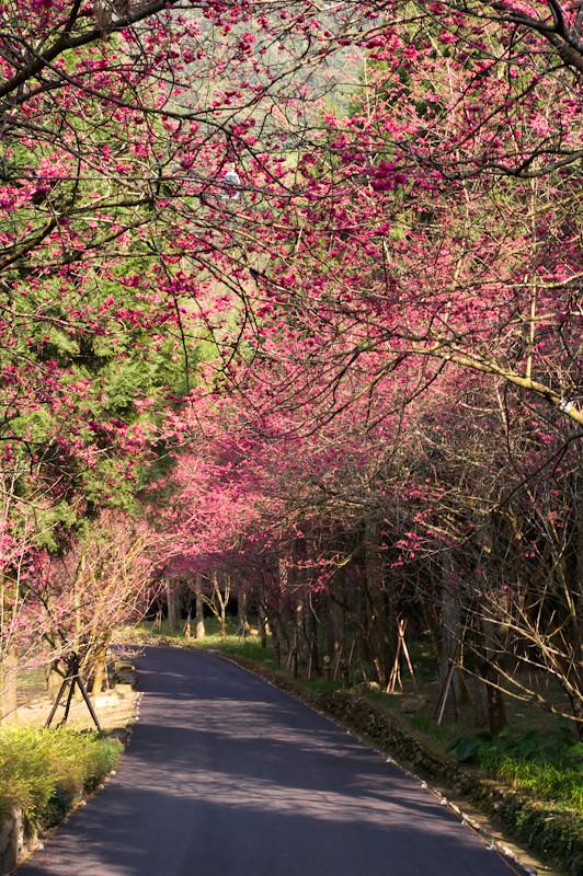 九族櫻花祭之獵蜂行動