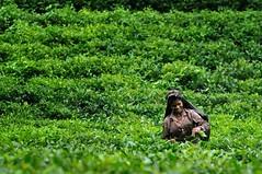 A green entreprenaur (NiH) Tags: winter summer smile nikon tea unesco un unitednations independence emancipation sylhet bangladesh teaplantation d90 teapicking nikond90 entreprenaur entreprenaurship monetaryfreedom fiscalsolvency