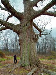 Sacred Oak (Nicholas_T) Tags: tree spring oak lowlight pennsylvania overcast creativecommons deciduous berkscounty yellowoak chinkapinoak quercusmuehlenbergii oldgrowthtree oleytownship sacredoak sacredoakofoleka sacredoakofoley