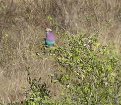 P1150909 Zimbabwe (19) (archaeologist_d) Tags: zimbabwe stanleylivingstonesafarilodge lilacbreastedroller africa southernafrica safari