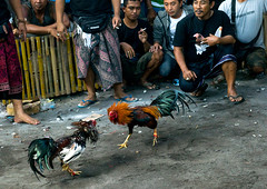 Cockfighting in a temple, Bali island, Canggu, Indonesia (Eric Lafforgue) Tags: action adult adults adultsonly aggressive animals asia asian bali bali1527 balinese bet betting birds blood bloodsport chickens cockfight cockfighting cockfights cocks cruel cultural cultures domestic feathers festival fight fighting gamble gambling game horizontal illegal indonesia indonesian menonly roosters sport tradition traditional canggu baliisland