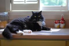 Batman (rootcrop54) Tags: batman jettail paws polydactyl male tuxedo cat hemingway wideeyedinnocence neko macska kedi 猫 kočka kissa γάτα köttur kucing gatto 고양이 kaķis katė katt katzen kot кошка mačka maček kitteh chat ネコ