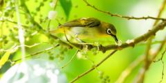 20170621-EM121647 (shutterblades) Tags: birds bukittimahnaturereserve dairyfarmnaturereserve olympusem1mkii olympusmzuiko300mmf4pro14tc orientalwhiteeye
