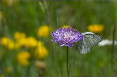Schmetterling 5 (mistlife) Tags: allgäu baumweisling blumen schmetterling