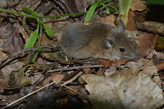 Wood Mouse (14) (John Carson Essex UK) Tags: thegalaxy thegalaxystars rainbowofnature supersix