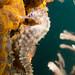 Hippocampus whitei seahorse