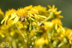 Araignée-crabe (Olivier Brosseau) Tags: flickrnature