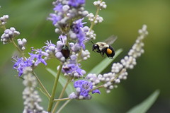 Buzzy at Work (dzmears) Tags: bee insect green yellow beetle black purple flower pollen