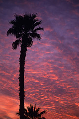 Palm tree silhouetted Indio California (Jim Corwin's PhotoStream) Tags: travel winter sunset vacation sky tourism nature weather silhouette vertical outdoors photography sightseeing scenic dramatic atmosphere nobody tourists palmtrees southerncalifornia silhouetted climate naturalworld atmospheric indio naturalscience altocumulus altocumulusclouds atmosphericscience beautyinnature traveldestination localattractions meterorology silhouettedpalmtrees