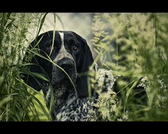 Steel - bluetick coonhound (Zach Boumeester) Tags: blue dog dogs field minnesota wisconsin prime nikon bokeh f14 14 hunting hound 85mm falcon coon shallow tick raccoon polar vivitar depth walimex bower coonhound bluetick opteka samyang rokinon d300s