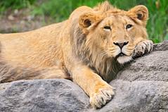 Posing but tired (Tambako the Jaguar) Tags: wild male cat zoo switzerland big nikon feline leo zurich lion young kitty posing zrich lying asiatic lwe d300 panthera pantheraleo