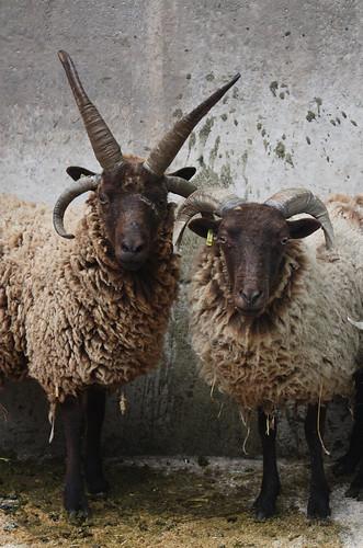 Manx Loaghtan sheep 1
