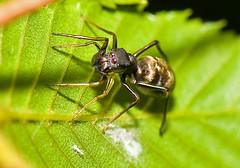 Myrmarachne japonica, Female (aeschylus18917) Tags: macro nature japan female spider nikon g arachnid ant micro  txt nikkor  f28 mimicry vr jumpingspider pxt arachnida araneae 105mm 105mmf28 salticidae   antmimic araneomorphae 105mmf28gvrmicro myrmarachnejaponica antmimicspider d700 myrmarachne nikkor105mmf28gvrmicro   antmimickingjumpingspider danielruyle myrmarachnid aeschylus18917 danruyle druyle