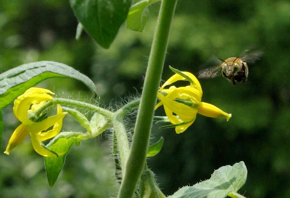 陽臺種番茄:花朵、蜜蜂和果實