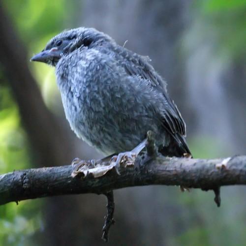 Baby Catbird