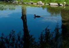 Paysage (alnet2010) Tags: lake duck lac reflexion canard leicadlux4
