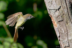 Return (~ Michaela Sagatova ~) Tags: nature flight dundas flycatcher greatcrestedflycatcher myiarchuscrinitus dvca birdnaturedundas michaelasagatova predatednest