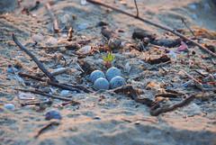 Motacilla alba eggs (.:: Maya ::.) Tags: sea eye beach freedom maya bulgaria blacksea happypeople    karadere  mayaeyecom mayakarkalicheva  wwwmayaeyecom