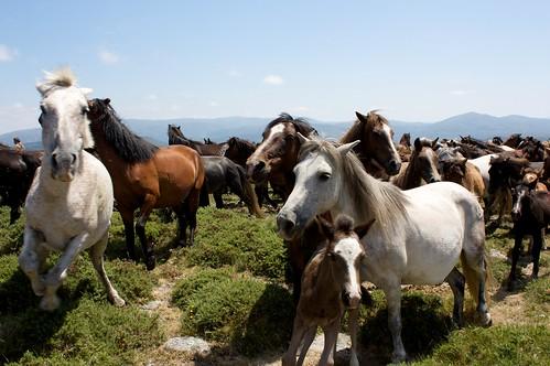 Festival de Rapa das Bestas en Galicia