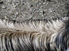 Berkshire Bird Paradise - Emu Feathers (fkalltheway) Tags: newyork texture closeup feathers petersburg emu grafton dromaiusnovaehollandiae berkshirebirdparadise fkalltheway