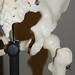 Bones of the pelvic girdle, posterior view