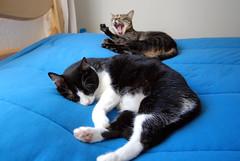 Tenham uma tima tarde! (Kitty & Kal-El) Tags: pet cats animal cat bed feline sleep kitty sleepy felinos kalel