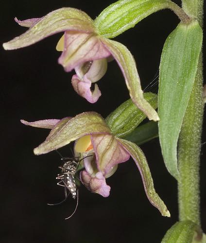 Epipactis, abreuvoirs à insectes 4771939326_e12718a900