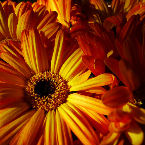 Golden Gerberas