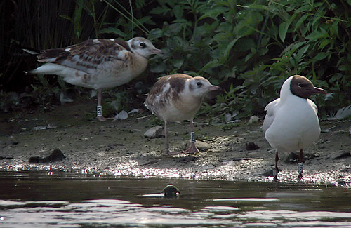 Black-headed Gulls, W[E5NX], W[E5NY], W[E5EL]
