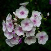 Photo: Phlox paniculata 'Miss Jill'