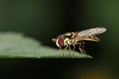 Allograpta obliqua (carlos mancilla) Tags: insectos macro flies moscas ef100mmf28macrousm allograptaobliqua canoneos550d canoneosrebelt2i