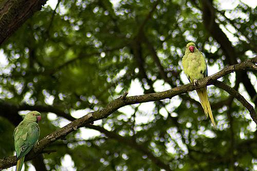 Wiesbaden parrots