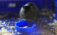 / gnawing (livepine) Tags: gerbil theodore