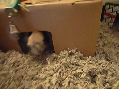 cavypartytimeattack (kendrak) Tags: pet cute cavies cavy furry guineapigs rodents guienapigs