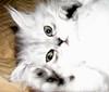 Chia (A Great Capture) Tags: pet cat silver persian kitten chat kitty chia greeneyes himalayan chichi perisan ald ash2276 bestofcats ashleyduffus ©ald ashleysphotographycom ashleysphotoscom ashleylduffus wwwashleysphotoscom