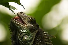 Iguana (wittowio) Tags: iguana zooave