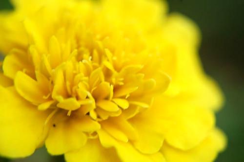 yello marigold