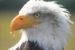 Cheyenne (Digitally Angelic) Tags: baldeagle americaneagle haliaeetusleucocephalus amerikaansezeearend hawkconservancytrust weiskopfseeadler pygarguetteblanche